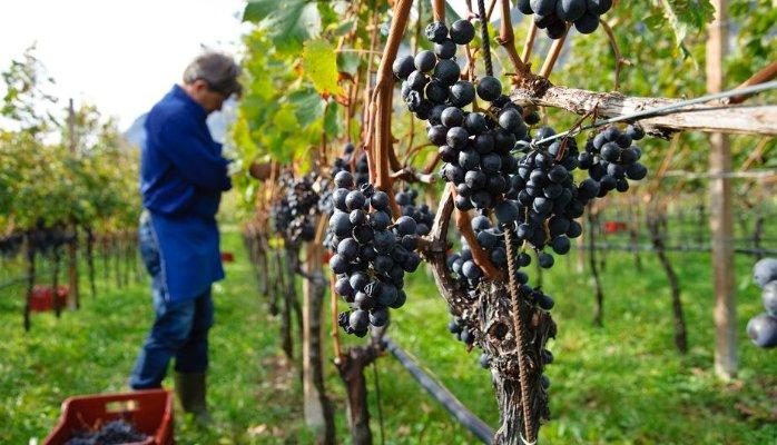 Co je mladé víno a jak ho správně vyrábět a pít