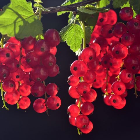 Rybízové víno – jak jej vyrobit doma a čím pomáhá našemu zdraví