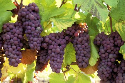 Rulandské šedé – odrůda z Burgundska, která dobyla svět