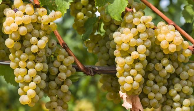 Müller Thurgau – základní informace, které byste o této odrůdě měli znát