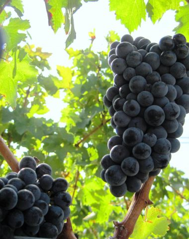 Cabernet Sauvignon, tradiční odrůda používaná k výrobě červených vín