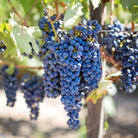 Klaret, víno z modrých hroznů