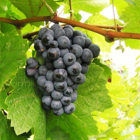 André, odrůda s českými kořeny