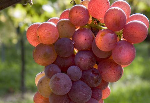 Tramín červený: Starobylá odrůda s nejasným původem a vysokou kvalitou