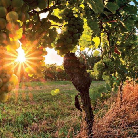 Putování boršickými vinohrady 2020