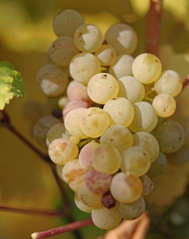 Ryzlink Rýnský – víno králů a král vín