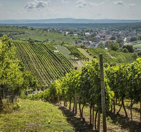 Mutěnice, obec vínu zaslíbená