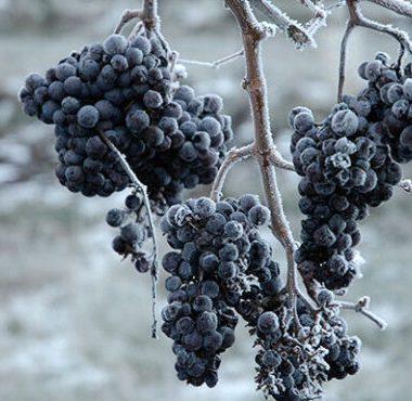 Ledové víno: Konzumace, Sklenice, Odrůdy