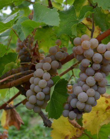 Víno Hibernal – oblíbená odrůda vhodná například k lehkým pokrmům